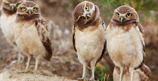 What to Know About BurrowingOwls?